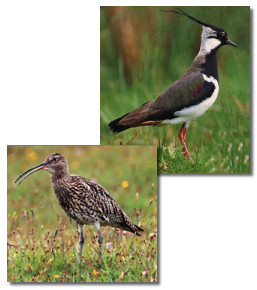 Images of Lapwing and Peewit