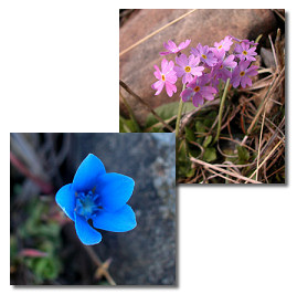 Image of blue gentian and birds eye primrose